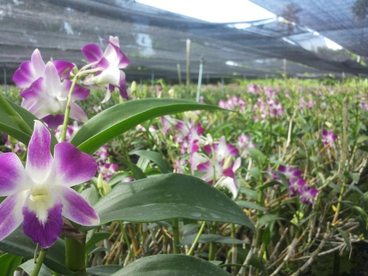 Orchideeën kwekerij